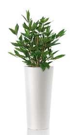 Dracaena Surculosa con vaso resina bianco